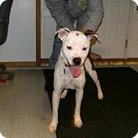 American Bulldog Mix Dog for adoption in Sparta, Wisconsin - Rex