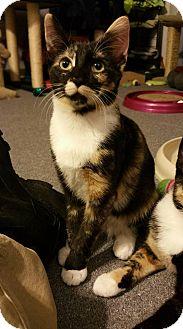 Domestic Shorthair Cat for adoption in Virginia Beach, Virginia - Kiwi