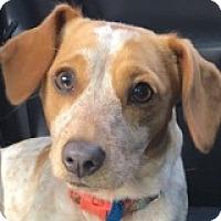 Adopt A Pet :: Iris Incisor - Houston, TX