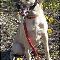 Anatolian Shepherd/Labrador Retriever Mix Dog for adoption in Golden Valley, Arizona - Daisy May
