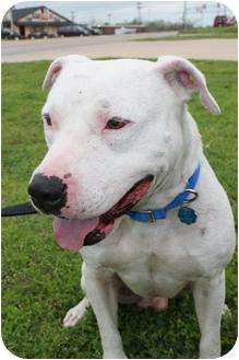 American Staffordshire Terrier/Bull Terrier Mix Dog for adoption in Justin, Texas - Vince