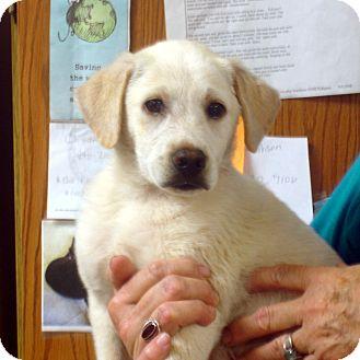 Labrador Retriever Mix Puppy for adoption in Greencastle, North Carolina - Chester