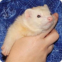 Ferret for adoption in Navarre, Florida - Jupiter