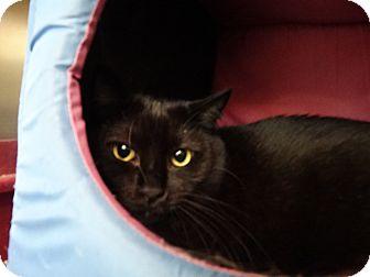 Domestic Shorthair Cat for adoption in Elyria, Ohio - Pete Puma
