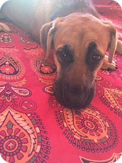 Rhodesian Ridgeback/Black Mouth Cur Mix Dog for adoption in Valley Stream, New York - Vita