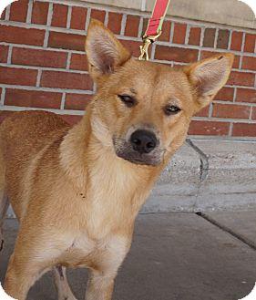 Shiba Inu Mix Dog for adoption in Houston, Texas - Tia