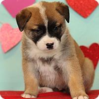 Adopt A Pet :: Chopper - Waldorf, MD