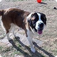 Adopt A Pet :: Duke - McKinney, TX