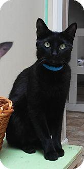 Domestic Shorthair Cat for adoption in Dallas, Texas - ALFIE