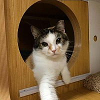Calico Cat for adoption in Bronx, New York - Jeckyll