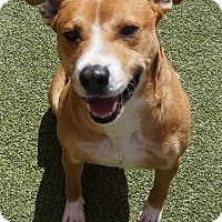Pit Bull Terrier/Labrador Retriever Mix Dog for adoption in Farmington, New Mexico - Beast