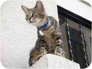 Domestic Shorthair Cat for adoption in Wakinsville, Georgia - Momo