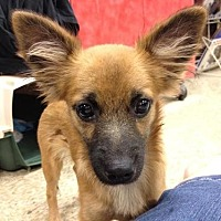 Spaniel (Unknown Type)/Pomeranian Mix Dog for adoption in Fresno, California - Mr. Blitzer