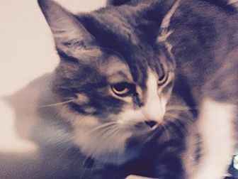 American Shorthair Cat for adoption in Houston, Texas - Cloud