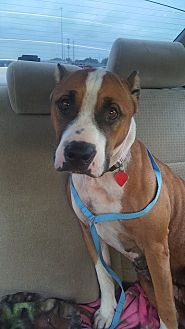 American Staffordshire Terrier Mix Dog for adoption in Covington, Tennessee - Mercy