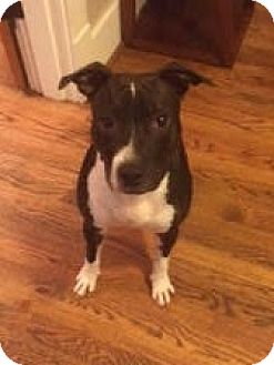 Pit Bull Terrier/Boxer Mix Dog for adoption in Nashville, Tennessee - Holly