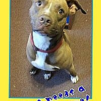 American Pit Bull Terrier/American Staffordshire Terrier Mix Dog for adoption in Staunton, Virginia - Niles