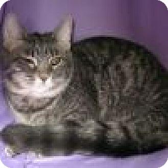 Domestic Shorthair Cat for adoption in Powell, Ohio - Felicia