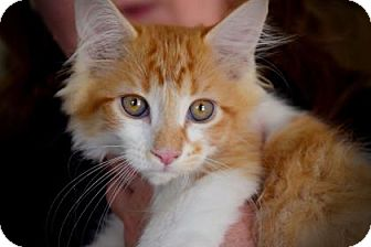 Domestic Shorthair Kitten for adoption in Wichita, Kansas - Dexter