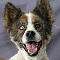 Australian Shepherd Mix Dog for adoption in Modesto, California - Edinger