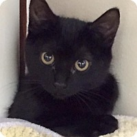 Adopt A Pet :: Kitten Acorn - Seal Beach, CA