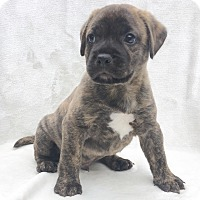 Adopt A Pet :: Uno - CUMMING, GA