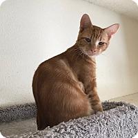 Adopt A Pet :: Chester TG - Schertz, TX