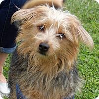 Adopt A Pet :: Marley(16 lb) Close To Perfect - West Sand Lake, NY