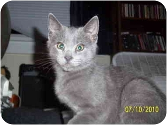 Russian Blue Kitten for adoption in Cleveland, Ohio - Rocky