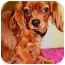 Photo 3 - Cavalier King Charles Spaniel Puppy for adoption in Osseo, Minnesota - Rollie