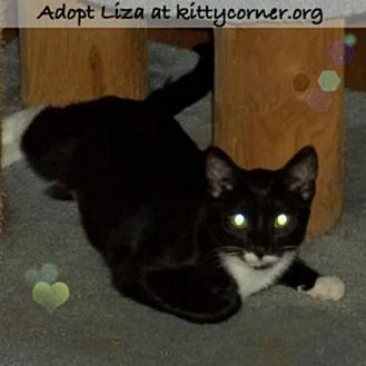 Domestic Shorthair Cat for adoption in Liverpool, New York - Liza