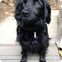 Adopt A Pet :: Badger - Burbank, CA