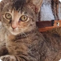 Adopt A Pet :: Pipa Rose - Littleton, CO