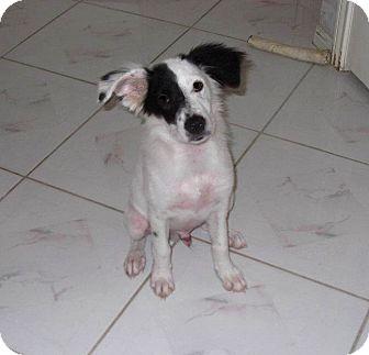 Border Collie Mix Dog for adoption in Houston, Texas - Raymond