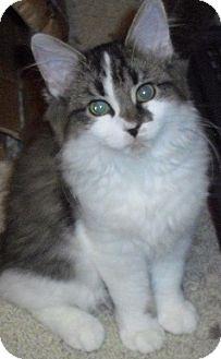 Domestic Longhair Kitten for adoption in Fairborn, Ohio - Chantilly-Lexington Litter