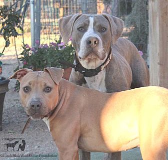 American Staffordshire Terrier Mix Dog for adoption in Toluca Lake, California - JoJo