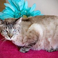 Siamese Cat for adoption in San Antonio, Texas - Marvin