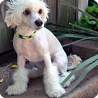 Adopt A Pet :: Gia - Bridgeton, MO