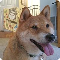 Adopt A Pet :: Totoro - Manassas, VA