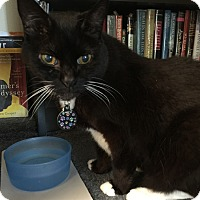 Adopt A Pet :: Bibs - Laguna Woods, CA