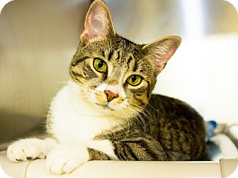 Domestic Shorthair Cat for adoption in Seville, Ohio - Sweetheart