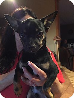 Chihuahua Mix Puppy for adoption in Ashville, Ohio - Trucker
