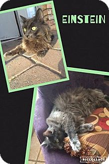 Domestic Longhair Cat for adoption in Scottsdale, Arizona - Einstein