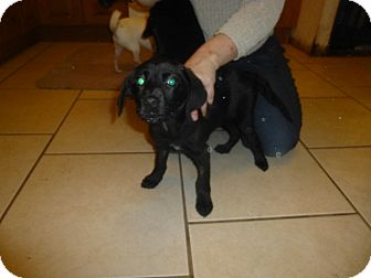 Labrador Retriever Mix Puppy for adoption in Glastonbury, Connecticut - Roxy