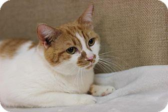 Domestic Shorthair Cat for adoption in Midland, Michigan - Esvin - $10!
