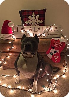 American Staffordshire Terrier Mix Dog for adoption in Baltimore, Maryland - Laia
