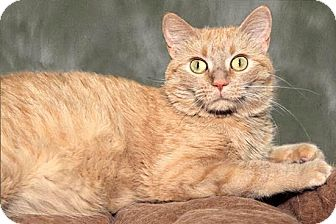 Domestic Shorthair Cat for adoption in Cashiers, North Carolina - Clementine