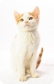 Domestic Shorthair Cat for adoption in Oxford, Mississippi - Ron Weasley - Foster Care