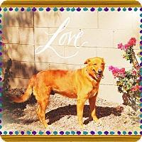 Adopt A Pet :: CARAMEL - Sweetie! - Chandler, AZ