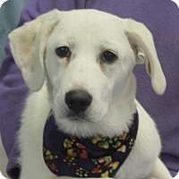 Adopt A Pet :: Ivory-PENDING - Garfield Heights, OH